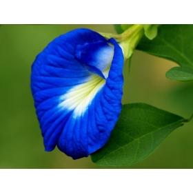 Clitoria Ternatea Ethnic Aparajita Butterfly Pea Or Blue Clitoria Flower 20 Seeds For Growing
