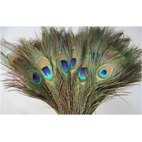 Natural Beatiful Peacock Eye Feathers Tails 25 Piece In Full Length
